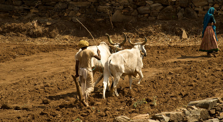 Luxury Rajasthan Holiday - Ranakpur is surrounded by agriculture
