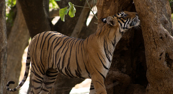 Luxury Rajasthan Holiday - Ranthambore is famour for tigers and tiger safaris